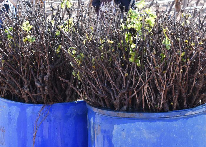 Vines for planting